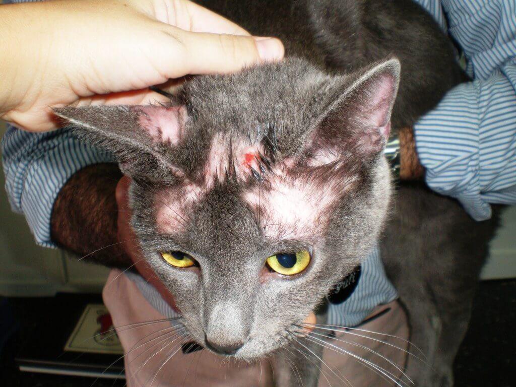 enfermedades-gatos-piel