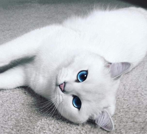 gato-mas-bonito-coby