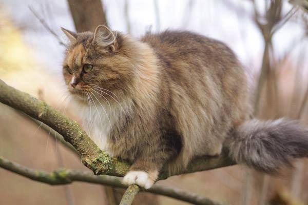 gato-pelo-semilargo