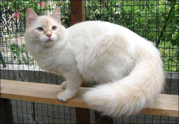 gato-pelo-semi-largo