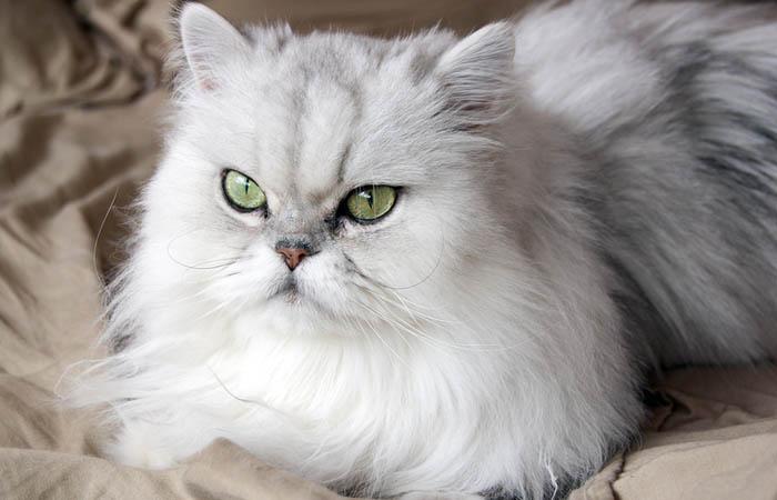 gato-persa