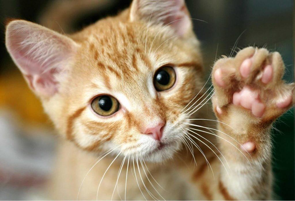 gato-saludo