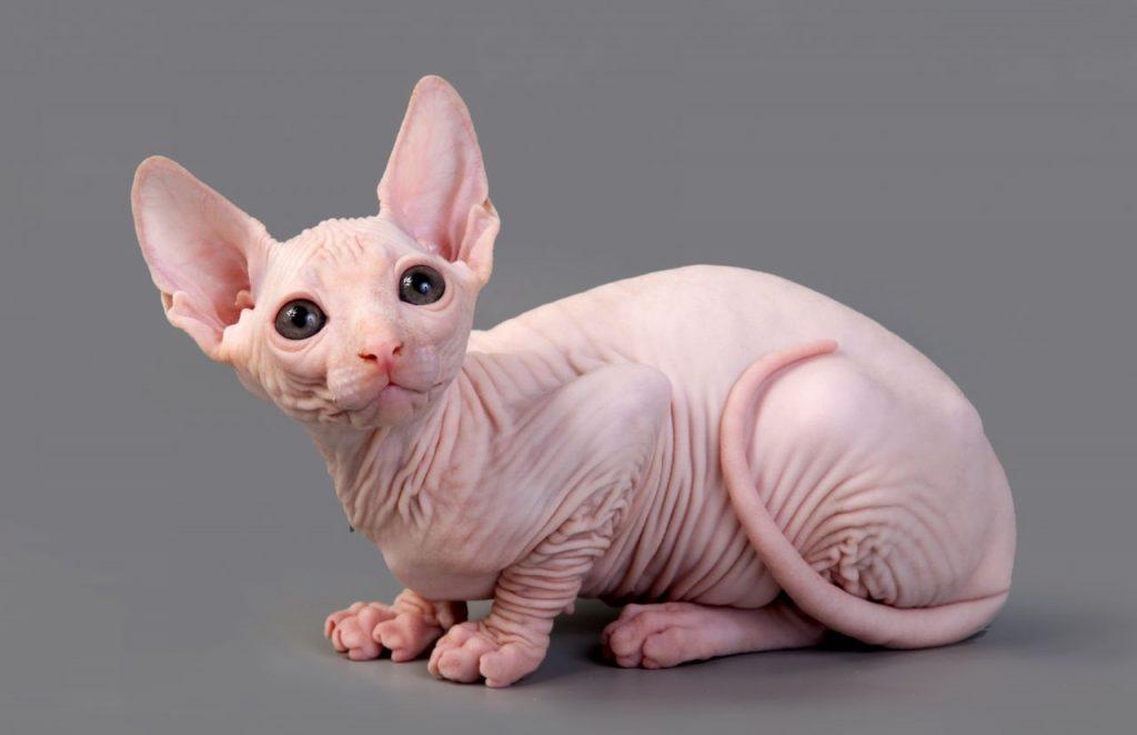gato-sin-pelo