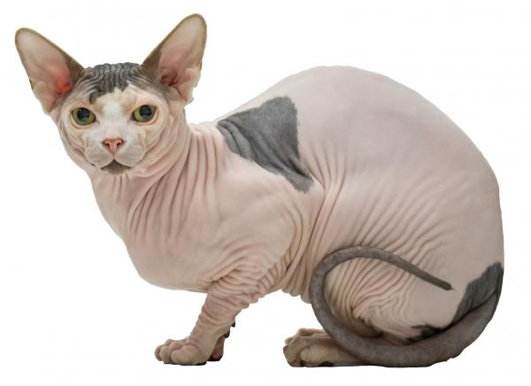 gato-sphynx