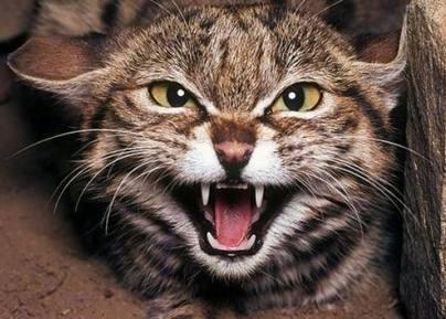 gatos-rabia