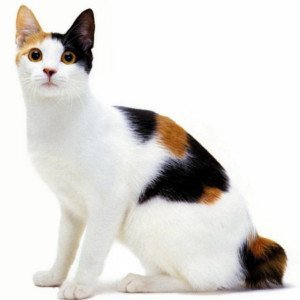 gato-rabon-japones