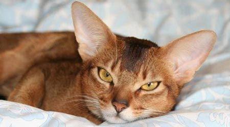 gato-abisinio-africa