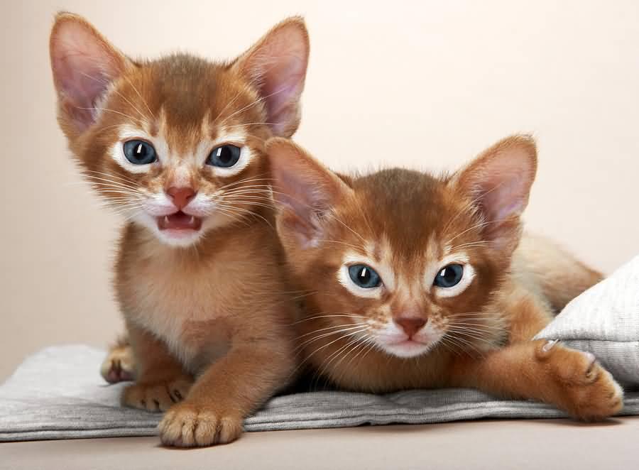 gatitos-abisinio