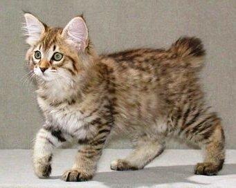 gato-american-bobtail