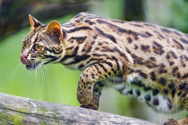 gato-asiatico-leopardo