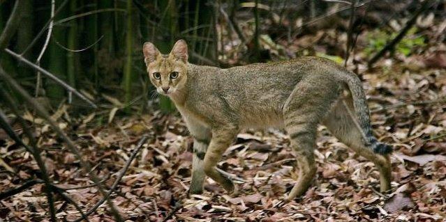 gato-chausie-africa
