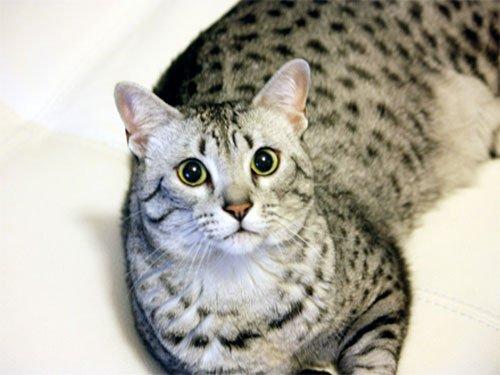 gato-mau-egipcio-africa