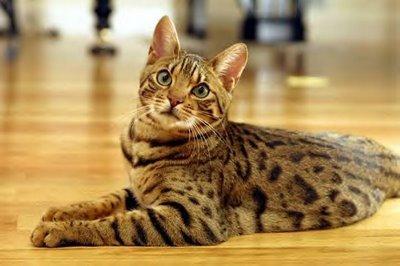 gato-sokoke-africa