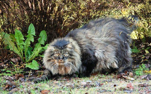 pelo-largo-skogkatt