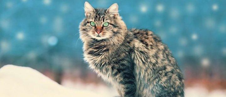 gato-pelo-semilargo-siberiano