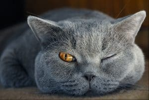 razas-british-shorthair