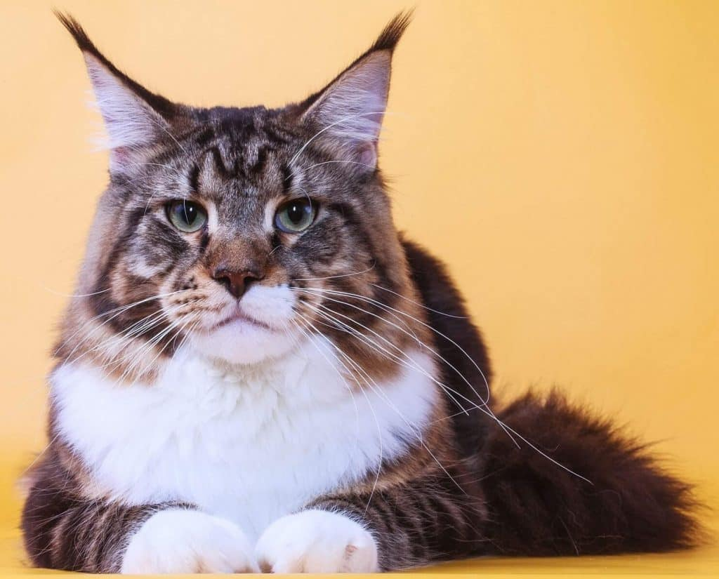 gato-maine-coon