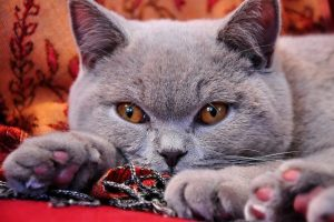 gato-british-shorthair