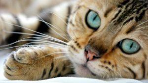gato-bengali