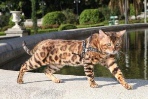 gato-bengali-pasear