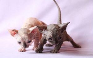 gatito-sphynx