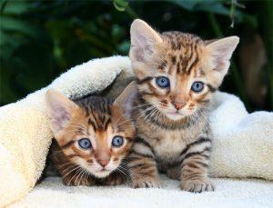 gato-toyger