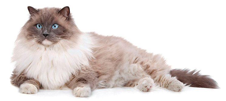 gato-ragdoll