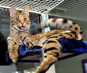 gato-savannah