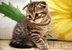 gato-scottish-fold