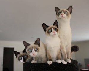 gato-snowshoe