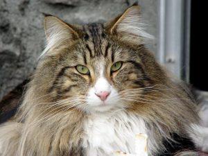 gato-bosque-noruega