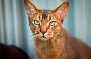 gato-abisinio