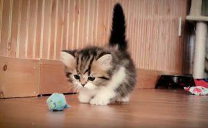 gato-munchkin