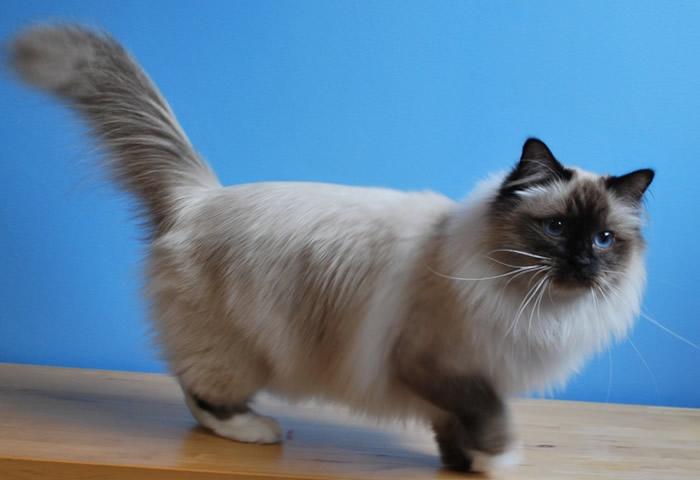 gato-sagrado-birmania