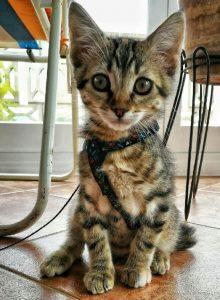gato-europeo