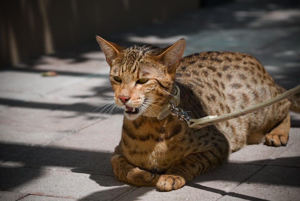 gato-ashera