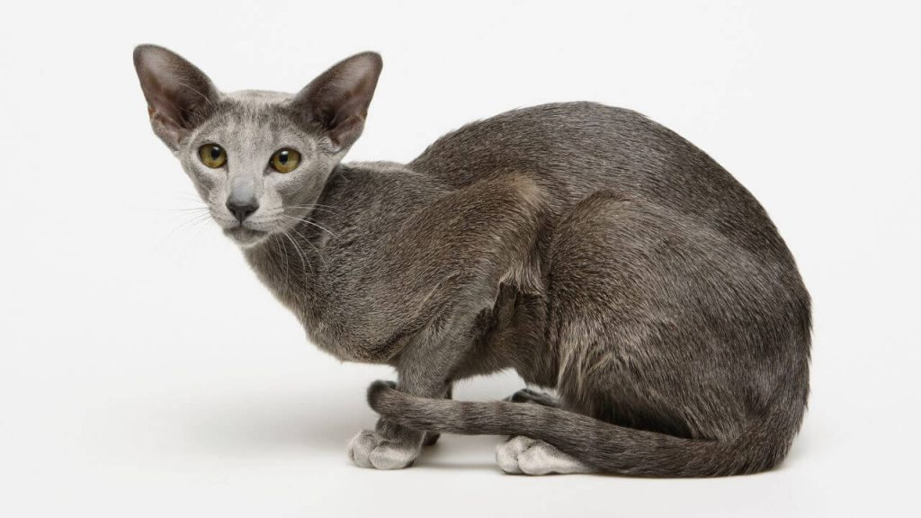 gato-oriental