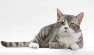 american-wirehair