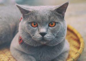 gato-chartreux