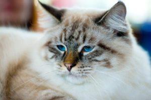 gato-ragamuffin