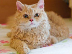 gato-laperm
