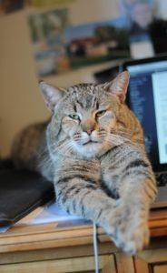 gato-pixie-bob
