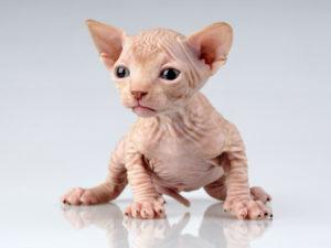 gato-bambino