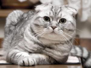 gato-highland-fold